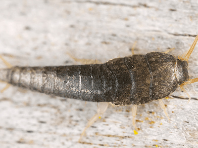 Why Silverfish May Be The Least Of Your Problems