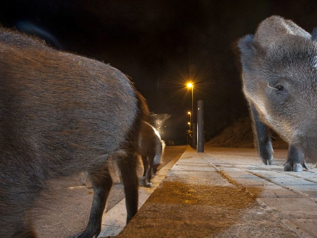 Animals are becoming nocturnal to avoid humans, and that could mean trouble
