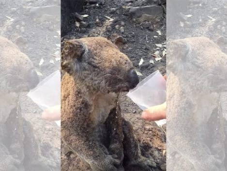 Man Gives Water to Injured Koala