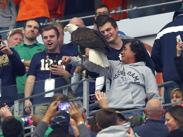 Rogue bald eagle lands on Notre Dame fans after national anthem at Cotton Bowl