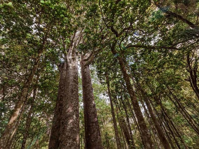 What is a Kauri Tree?