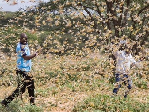 'Biblical' Locust Plague With Mega-Swarms The Size Of Cities Descends On East Africa