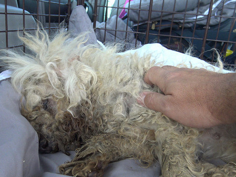 Sick, Matted Street Dog Can't Believe Someone Wants To Pet Her