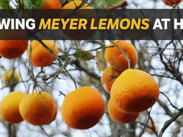 Growing Meyer Lemons at Home