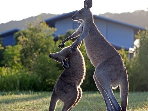 Elderly woman viciously attacked by Kangaroo in rural Queensland while on a dog walk