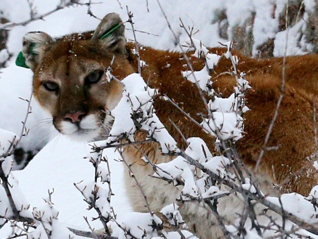 A mountain lion mauled a trail runner. The man fought back and killed it.