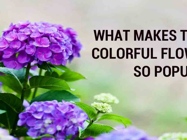 Hydrangeas — What makes these colorful flowers so popular?