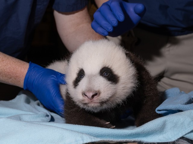 The National Zoo's Baby Panda Is Two Months Old and Cuter Than Ever
