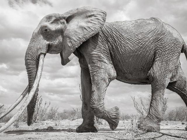 Huge rare 'Elephant Queen' captured on camera
