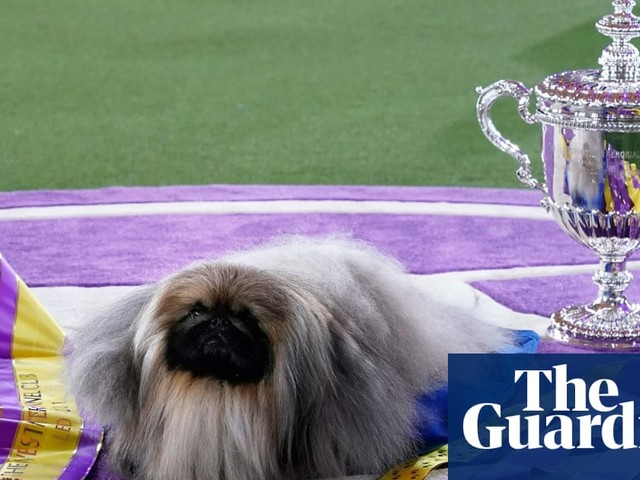 Hot dog: Pekingese named Wasabi wins best in show at Westminster Dog Show