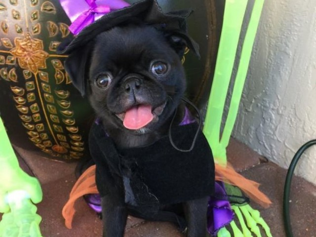 A Cute Collection Of Pugs In Halloween Costumes