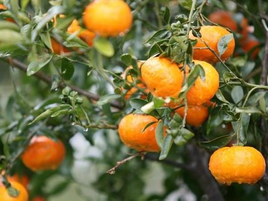 Orange Juice Futures Soar Amid 'Frost Threats'In Brazil