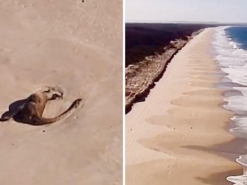 The beach of the dead kangaroos: Tragic video shows 40 carcasses in Bribie Island