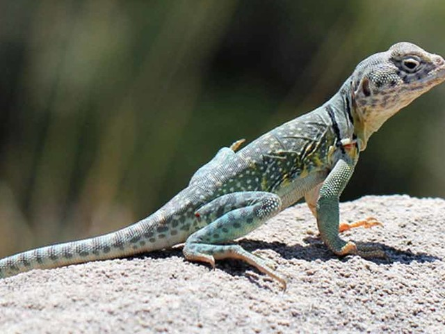 Lizards' Gut Microbiome Slashed by Rising Temperatures