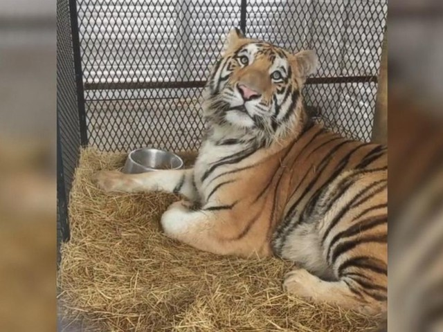 WATCH: Tiger found caged in abandoned home gets second chance at wildlife sanctuary