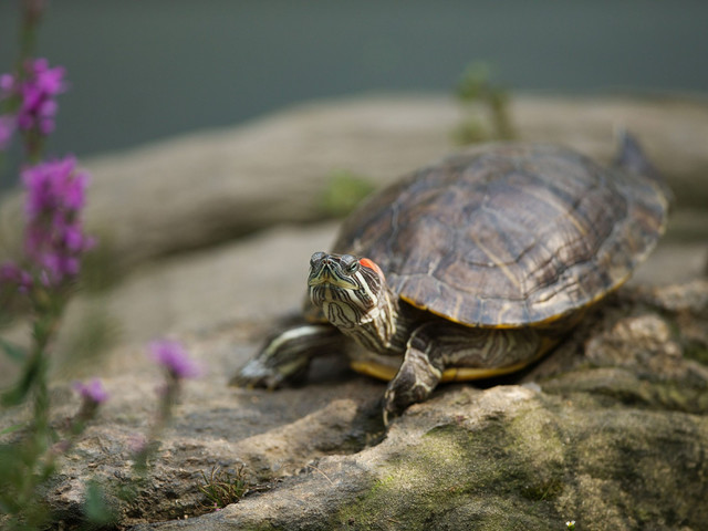 CDC: Stop kissing your pet turtle