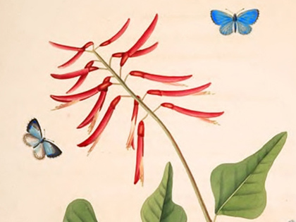 Rare Butterflies and Unsung Pollinators: Gorgeous 18th-Century Drawings by the First Artist and Naturalist to Depict the Wing-borne Beauty of the New World