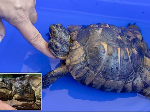 Two headed turtle and museum mascot that turns 23 years old in three weeks is seen taking a bath