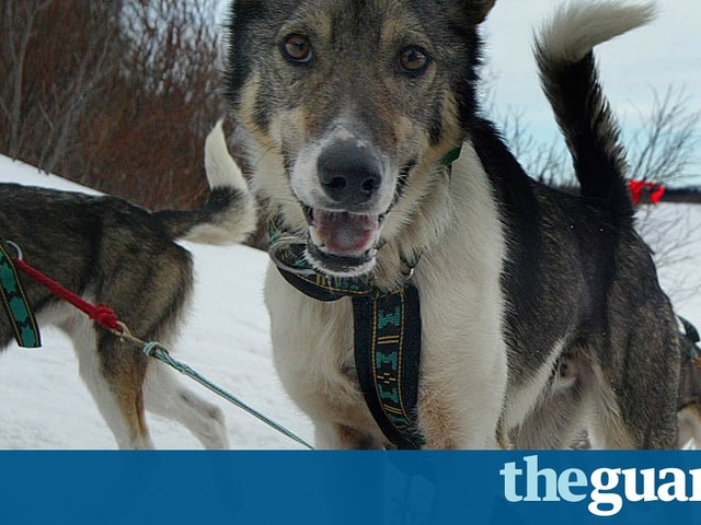 Sled dogs test positive for banned drug for first time in Iditarod history