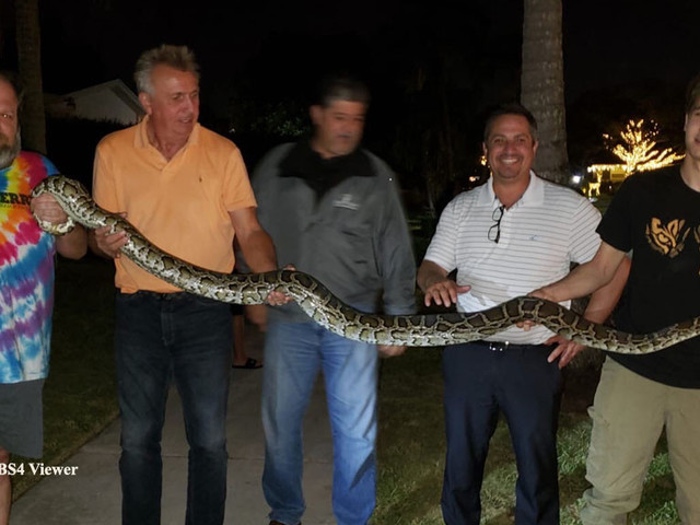 'We're Free To Go Outside Again': Neighbors Relieved As 9-Foot Burmese Python Captured In Quiet Kendall Neighborhood