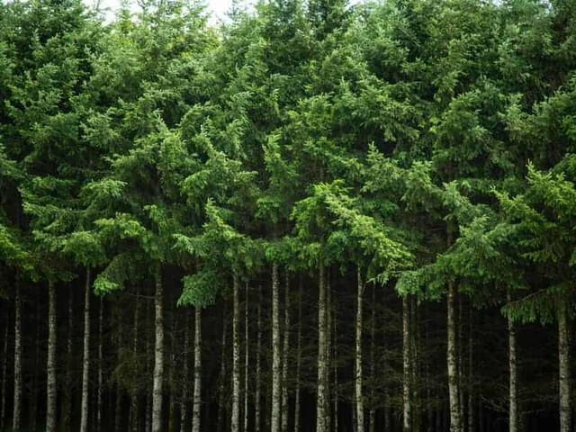 What is a Douglas Fir Tree?