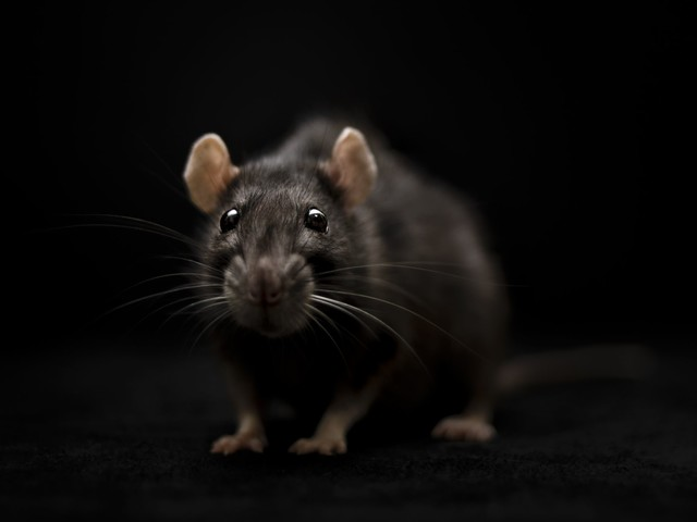 We got rats! Houston ranked among 'rattiest' cities in US
