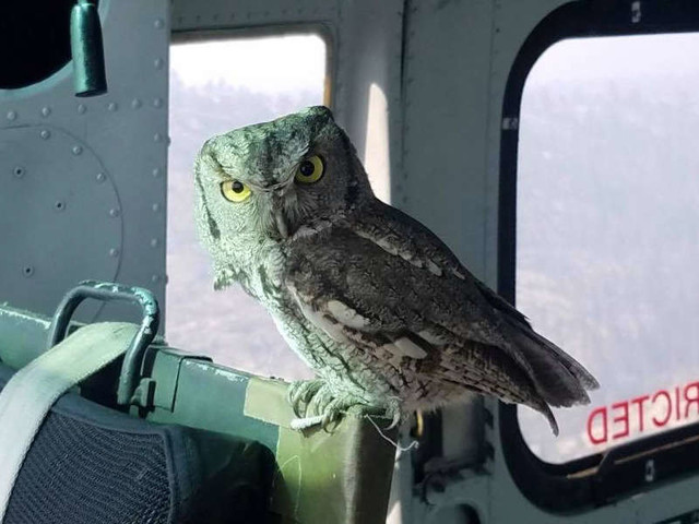 Owl Flies Inside Helicopter To Join Pilot Battling Massive Wildfire