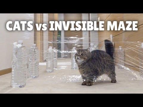 Cats vs. Invisible Maze