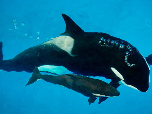 SeaWorld San Antonio's Last Captivity-Born Orca Calf Has Died