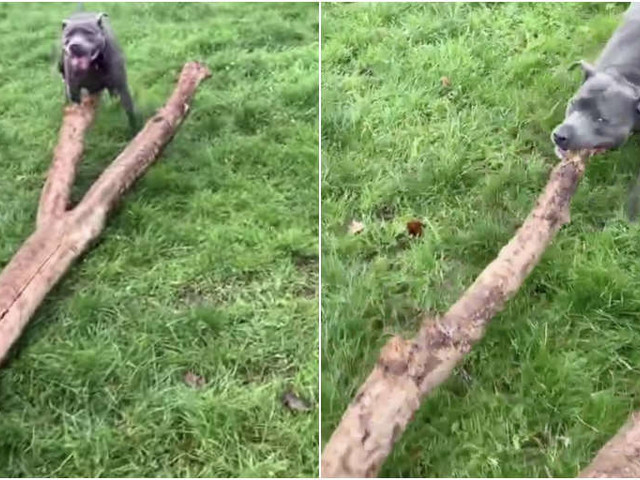 Dog Finds Biggest 'Stick' Ever And Tries To Take It Home