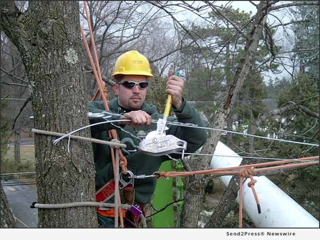 Cabling Weak, Heavy Tree Branches Now Can Prevent Huge Costs Later