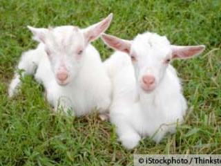 The Worst of Both Worlds -- Genetically Engineered Goats to Produce New Vaccine
