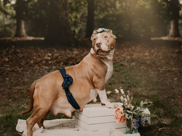 Rescue Pittie Is Glowing In Her Very Own Maternity Shoot