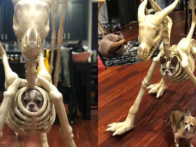 Dog Sees Halloween Skeleton And Decides To Prank His Sister