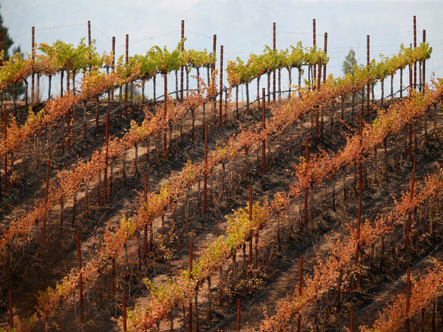 California wineries unlikely to sell smoky wines post-wildfires