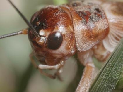 The secret language of crickets (video)