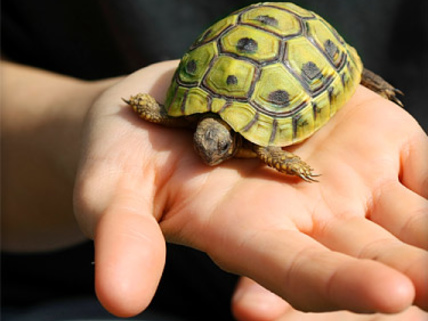 Pet Turtles Linked to Salmonella Outbreak: CDC