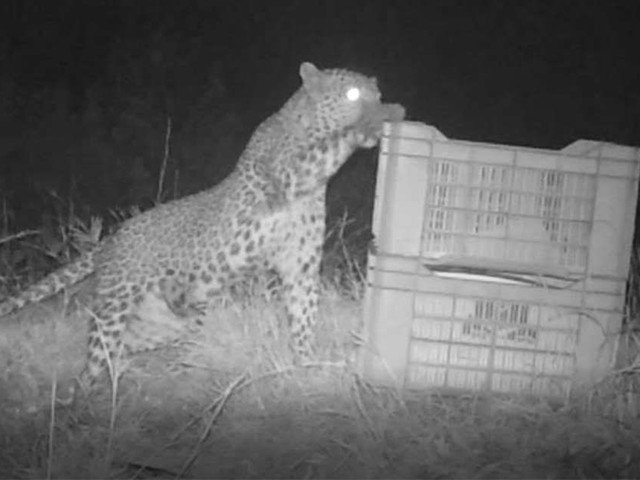 Mother Leopard Knew Something Very Important Was Inside This Box