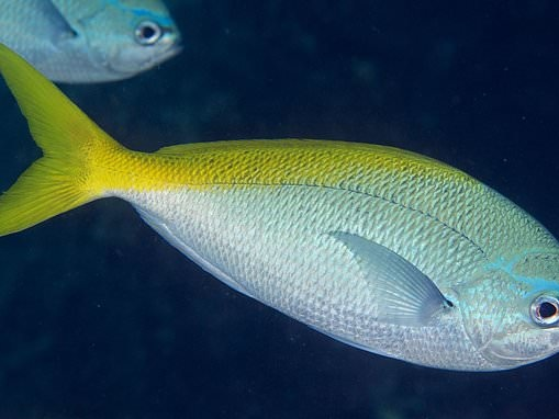 Fish DO feel pain in a 'strikingly similar' way to mammals including humans, study reveals