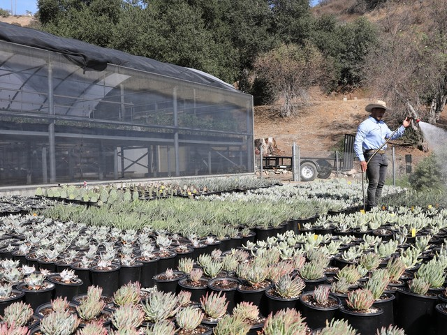Native plants allow Californians to rebuild nature and save water, says chief of Theodore Payne Foundation