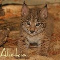 alickia