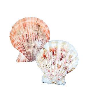 Scalloped Seashells (General Merchandise)