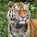 tigresse500
