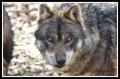 wolfqueen