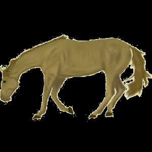 Cheval de selle Arabe Alezan Brûlé