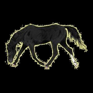 Cheval de selle Holstein Noir