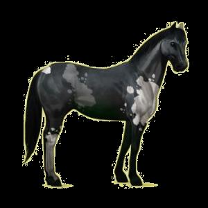 Cheval de selle Paint Horse Pie Tovero Bai