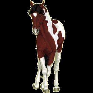 Cheval de selle Paint Horse Pie Overo Bai