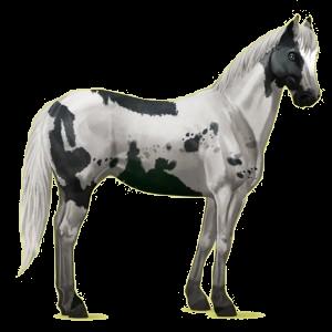Cheval de selle Paint Horse Pie Overo Noir