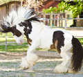 les chevaux de la reine †